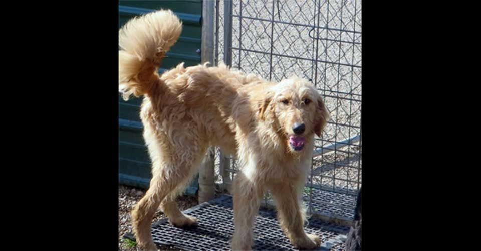 LESTER - Golden Doodle looking for a home.