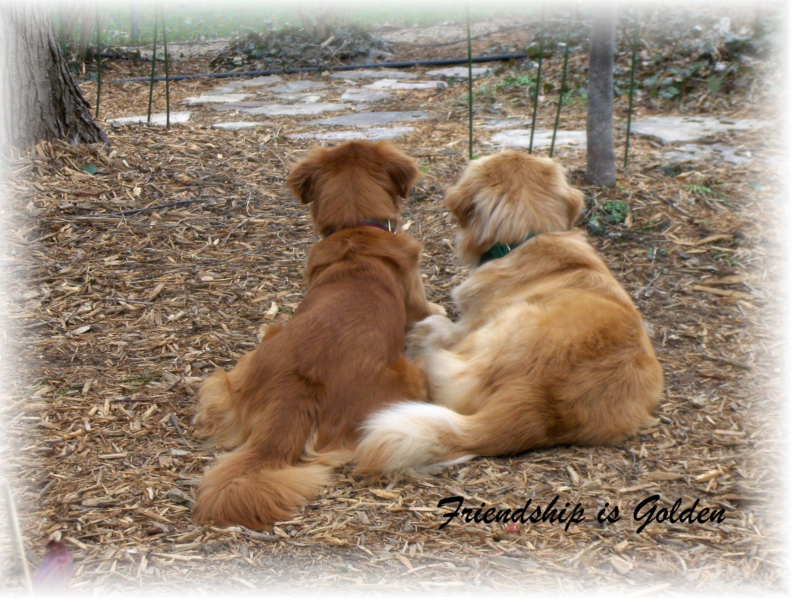 as good as gold golden retriever rescue of illinois