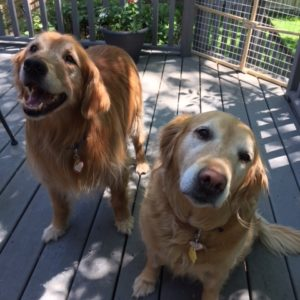 As Good As Gold – Golden Retriever Rescue of IllinoisBindi & Kodi