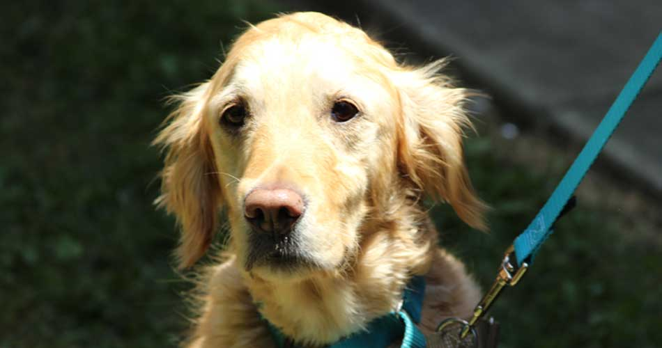 Maya - I am a sweet, 5 year old golden girl.