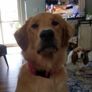 As Good As Gold – Golden Retriever Rescue of IllinoisGoose