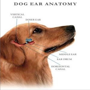 dog ear anatomy